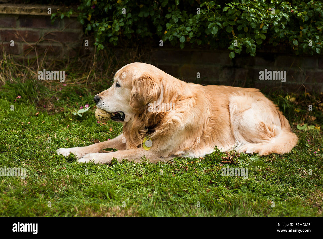 An old dog with tennis ball in mouth resting in a garden - Stock Image
