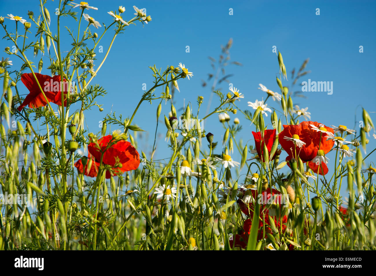 Wild flowers in a wheat field. - Stock Image