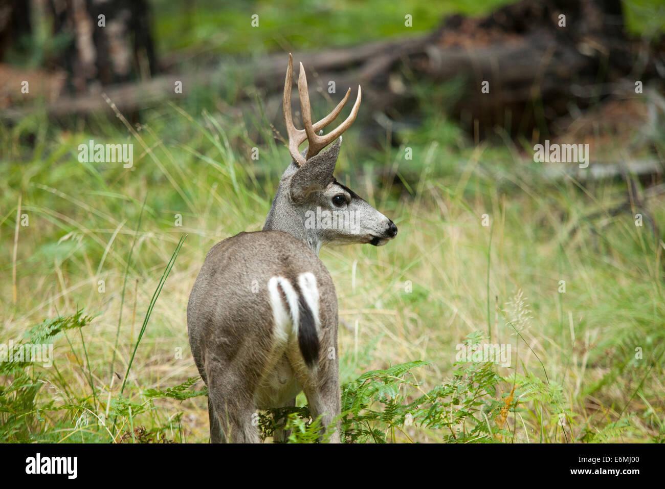 4 point Mule deer (black-tailed deer) rear view - Sierra Nevadas, California USA - Stock Image