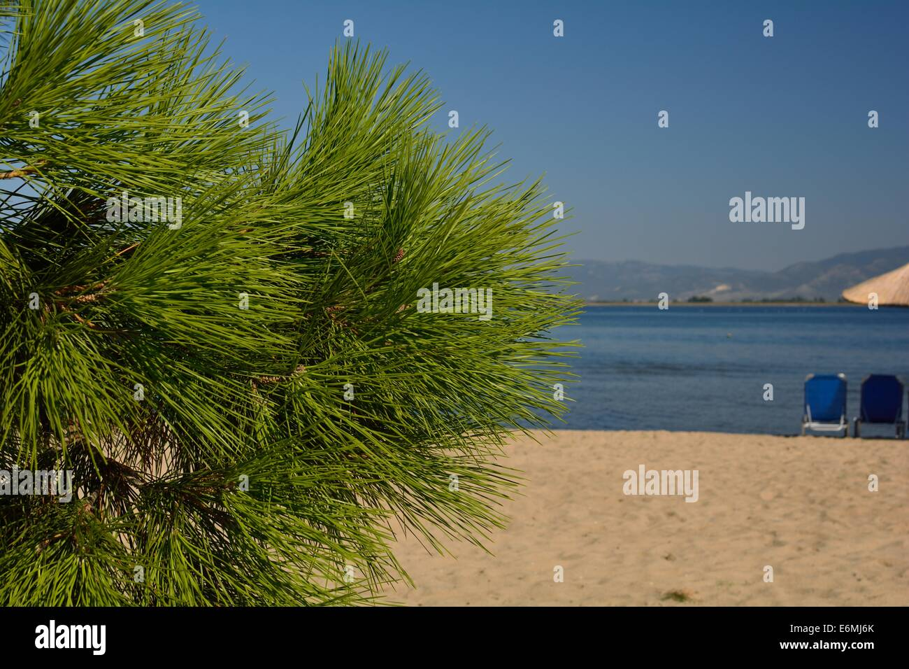 Aleppo Pine on the beach - Stock Image