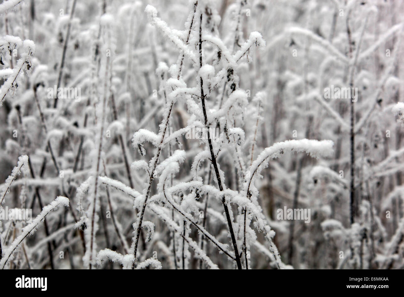 Early morning winter hoarfrost on plant - Stock Image