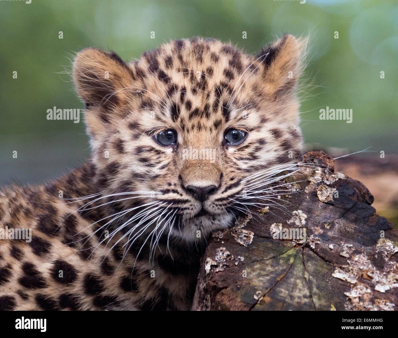 Female Amur leopard cub gazing into camera Stock Photo