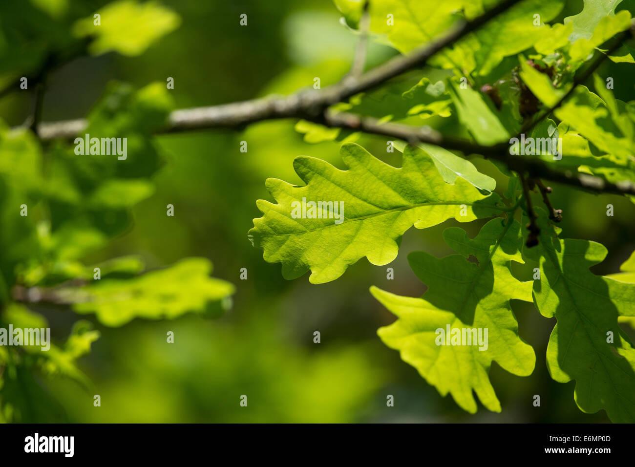 English Oak, oaks, leaf, leaves, Eichenlaub, Eichenblatt, Eichenblätter, Stiel-Eiche, Eichen, Stieleiche, Eiche, - Stock Image