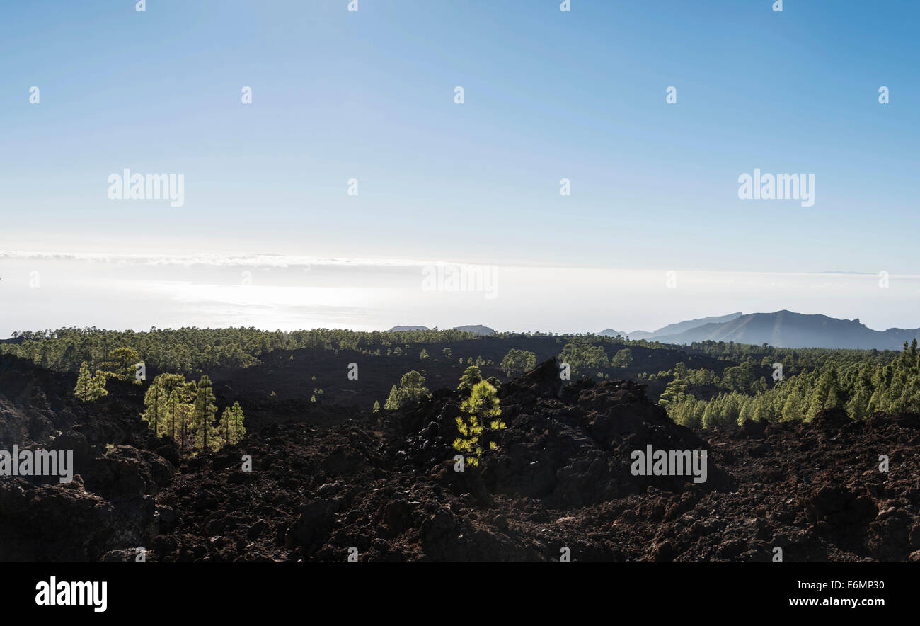 Lava field with Canary Island pines (Pinus canariensis), Teide National Park, UNESCO World Heritage Site, Tenerife - Stock Image