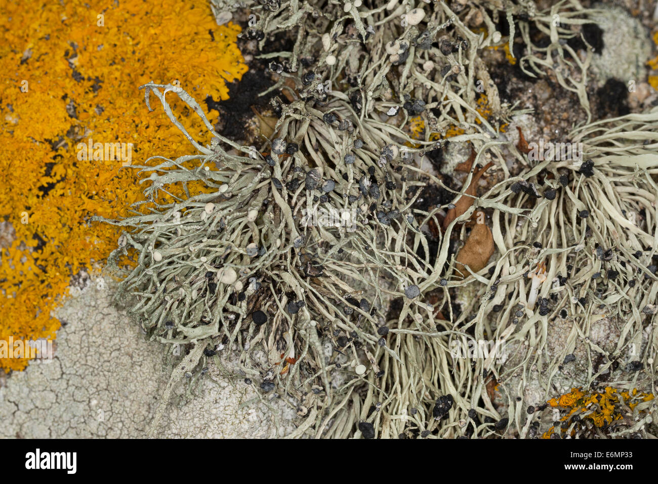 Sea Ivory Lichen on rocks and stone walls on coastland, Grüngraue Astflechte, Strauchflechte, Küstenfelsen, - Stock Image