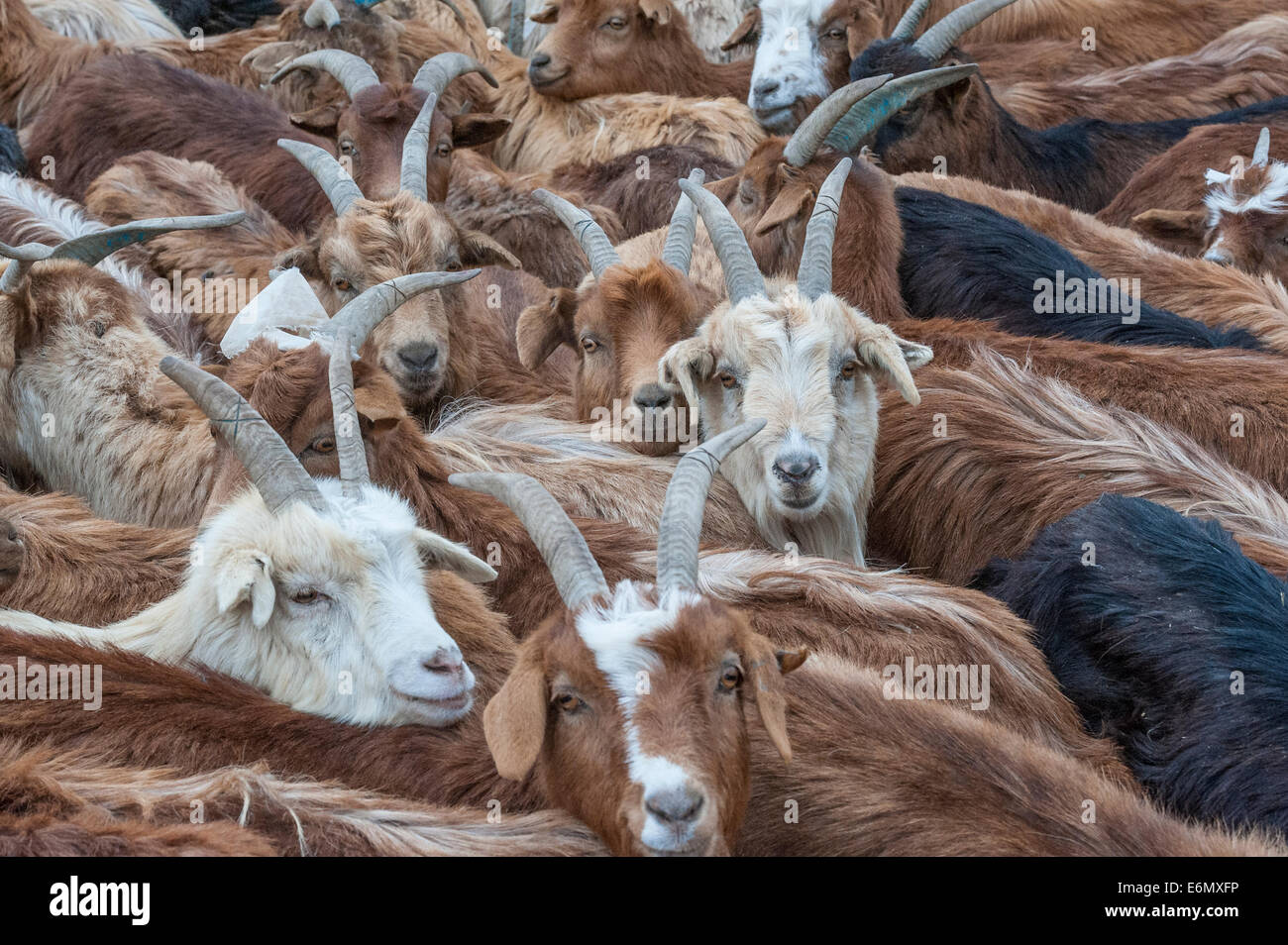 Close-up into a flock of cashmere goats in central Mongolia - Stock Image
