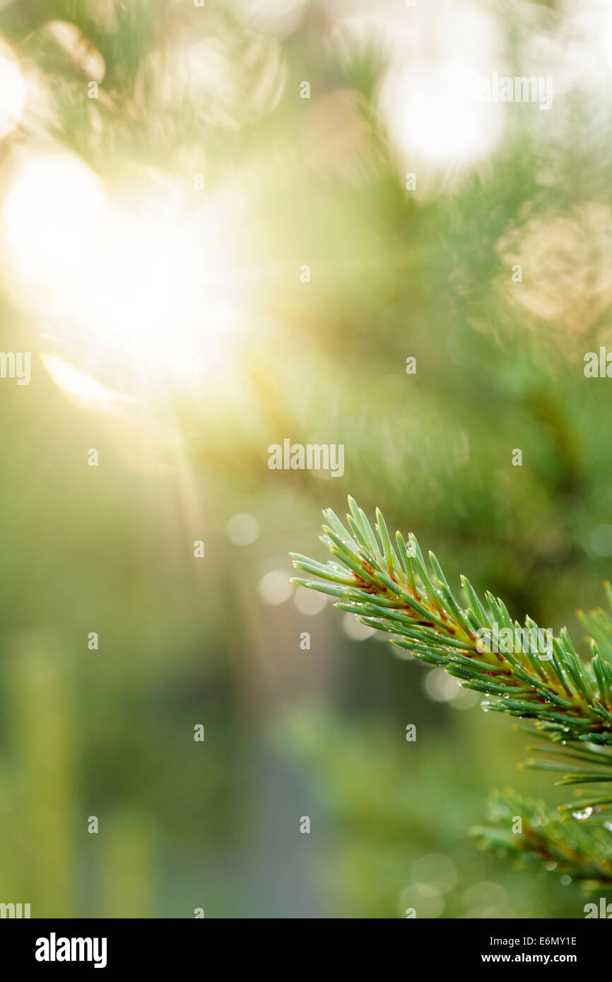 Branch of a European spruce tree after rain. - Stock Image