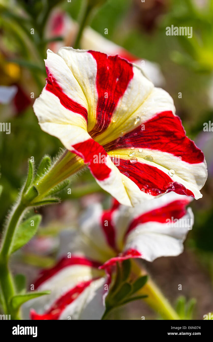 Red And White Petunia Stock Photos Red And White Petunia Stock