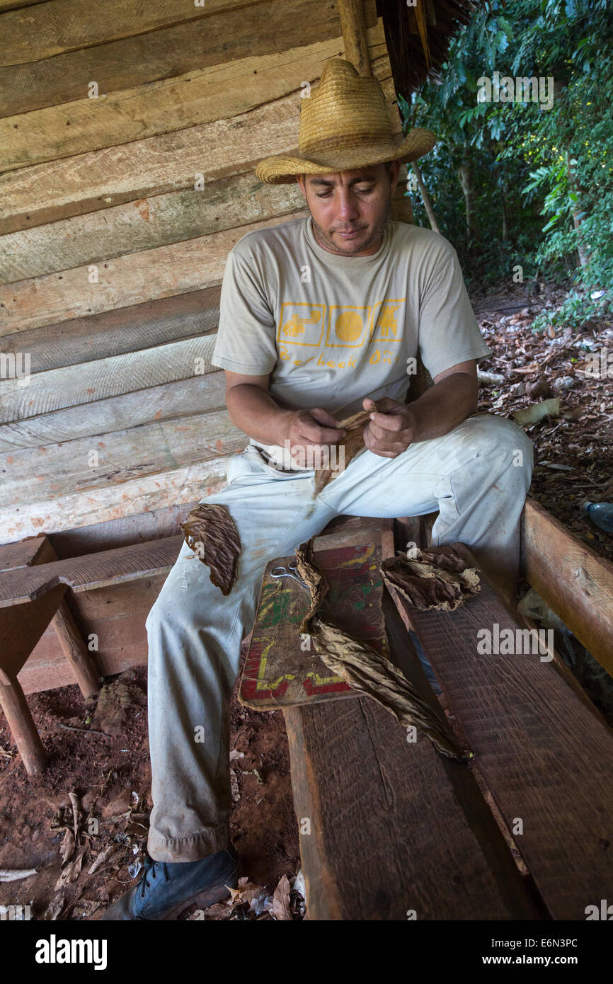 tobacco farmer rolling cigar from tobacco laves, Vinales, Cuba - Stock Image