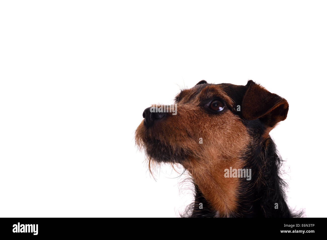 Head shot on a white background of an attentive terrier dog. Breed is a Lakeland / Patterdale terrier cross. - Stock Image