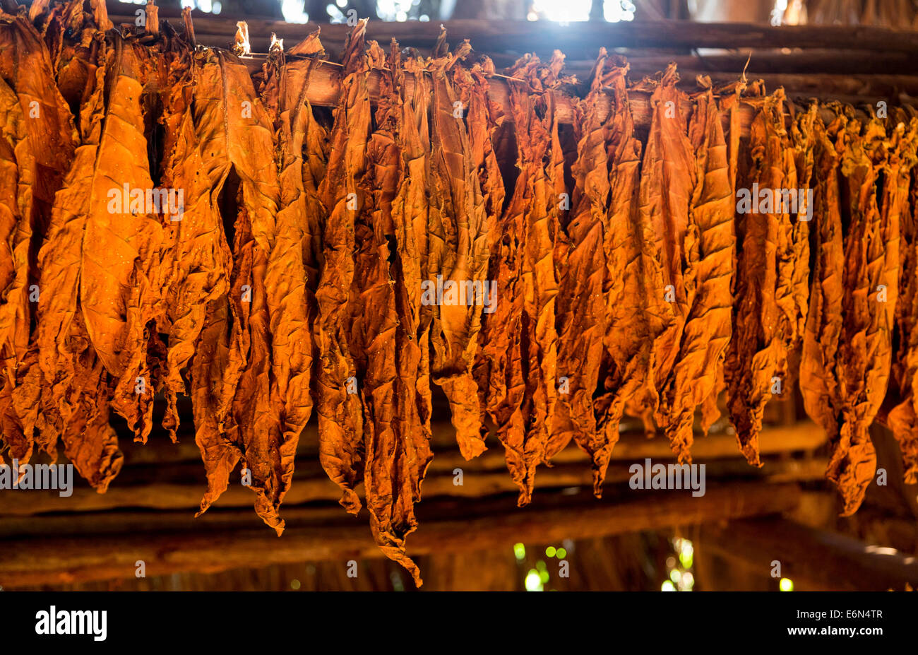 tobacco leaves drying in a barn, Vinales, Western Cuba - Stock Image