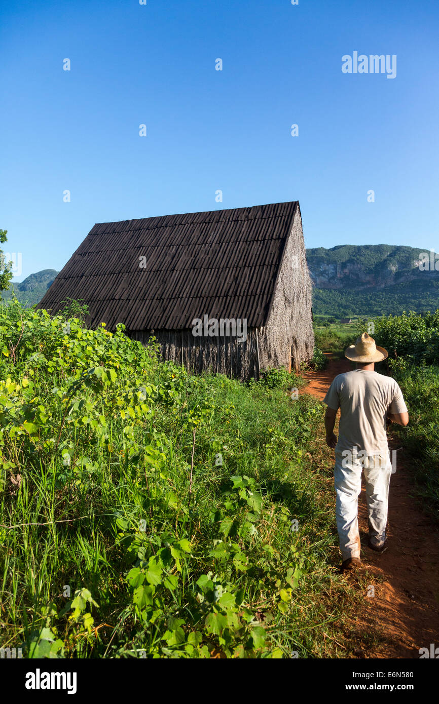 tobacco farmer walking towards barn for drying tobacco leaves, Vinales, Cuba - Stock Image