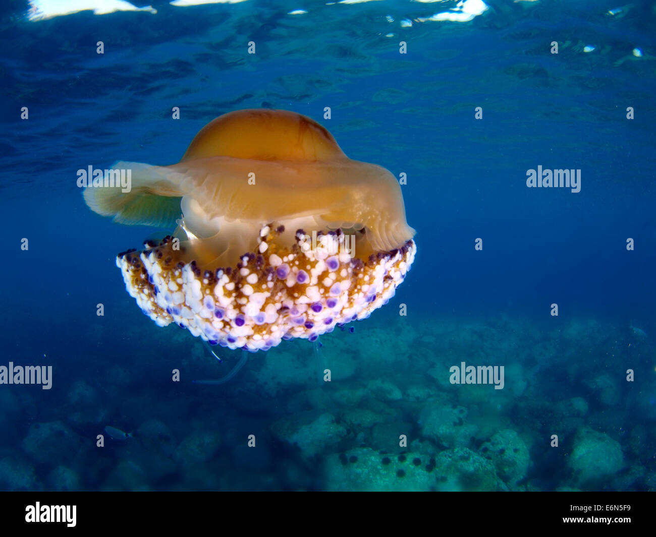 A jellyfish floats in the clear waters of the Mediterranean sea (Spain) - Stock Image