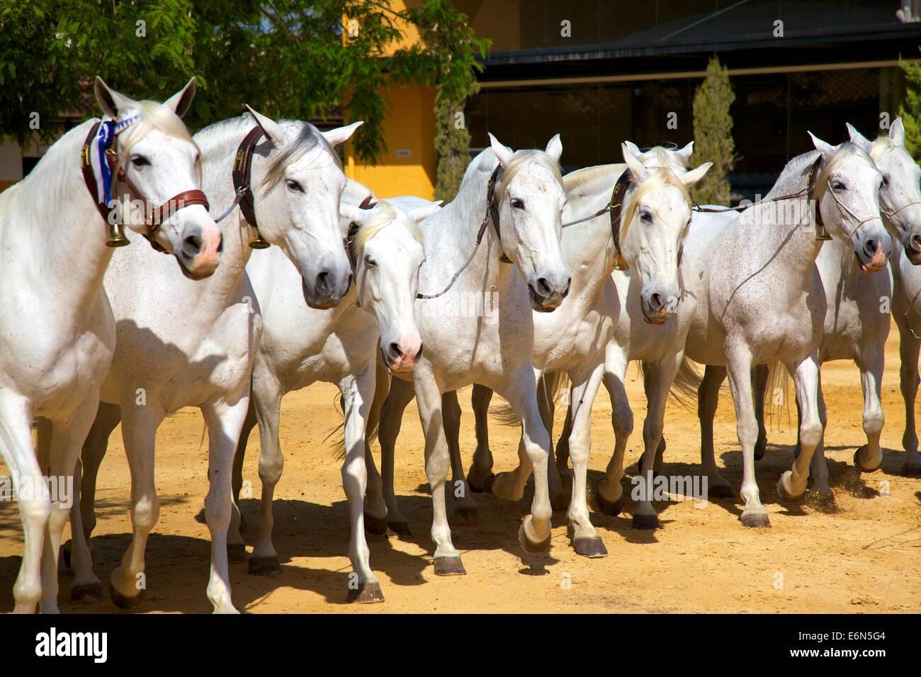 Yeguada de la Cartuja, Finca Fuente del Suero, Jerez de la Frontera, Cadiz Province, Andalusia, Spain, South West Stock Photo