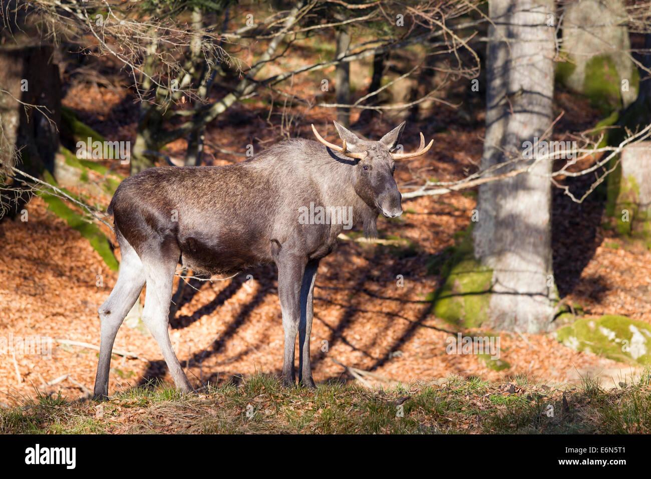 Alces alces moose elk antler deer Elchhirsche Eurasian males Moose Stock Photo