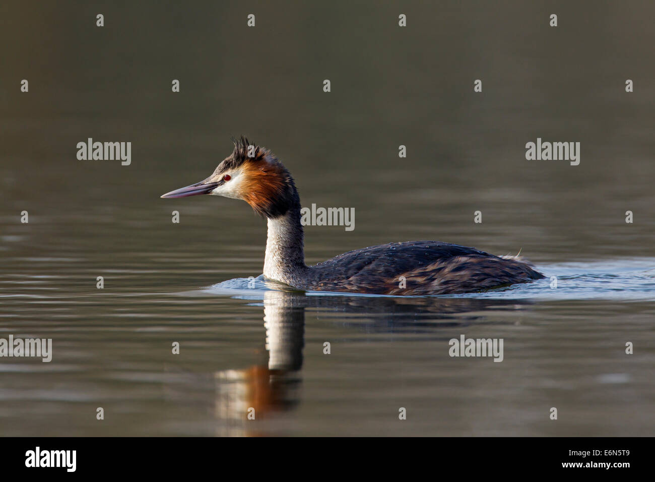 Great crested grebe (Podiceps cristatus) swimming in lake - Stock Image