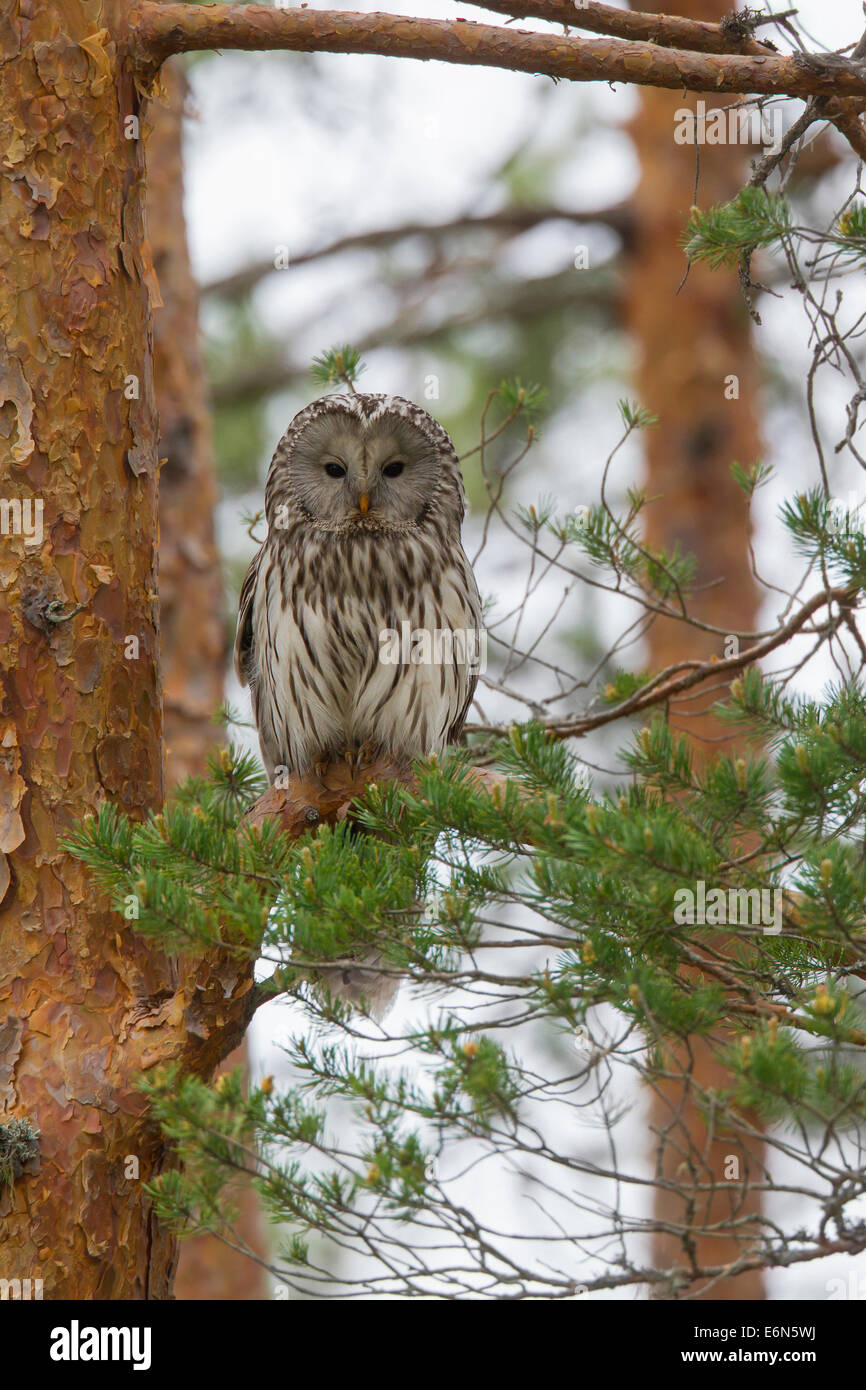 Ural owl (Strix uralensis) perched in spruce tree, Scandinavia - Stock Image