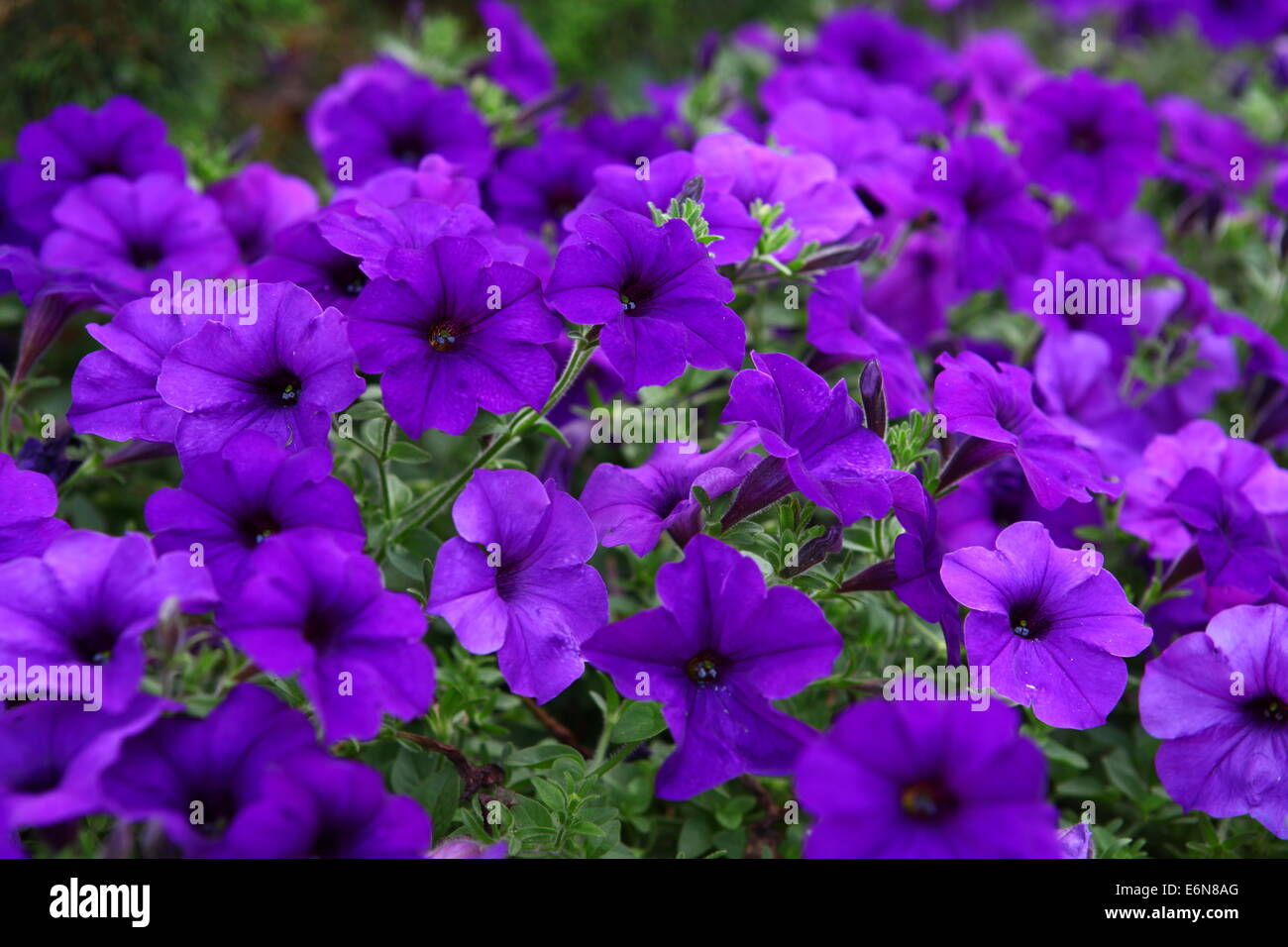 Petunia blue fantasy stock photos petunia blue fantasy stock flowerbed of beautiful purple flowers purple petunia blue fantasy stock image izmirmasajfo