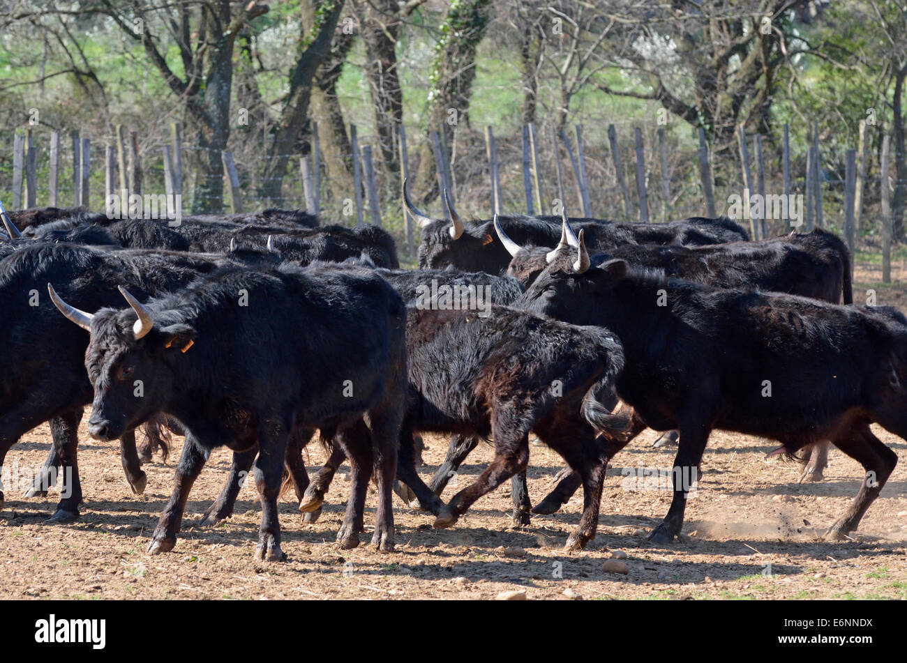 Camargue bulls being corralled in a paddock, Camargue, France, Europe - Stock Image