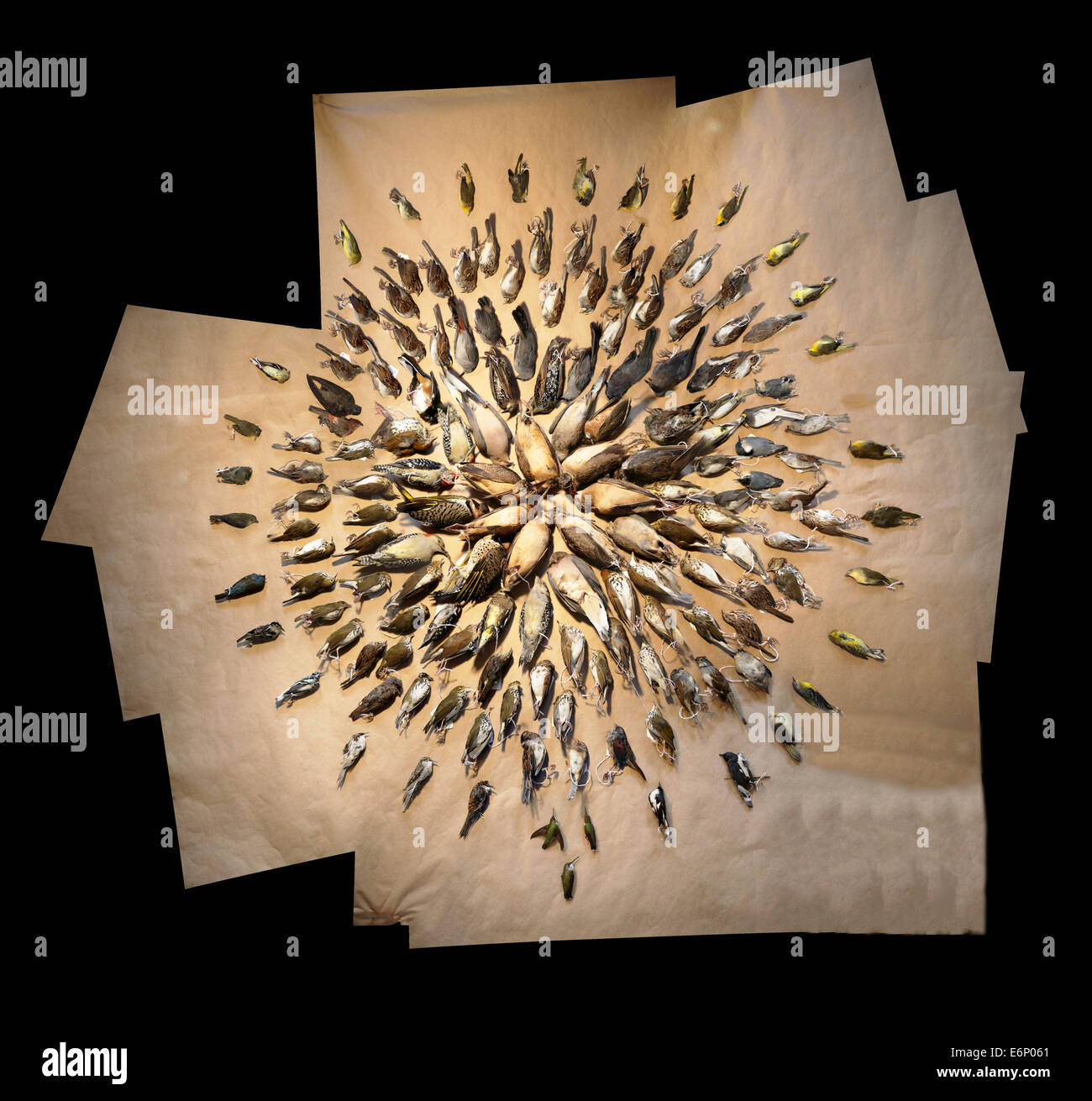 2013LightsOutDC Stiched circle_8517895172_o Sample of Dead Birds that struck buildings in Washington D.C. during - Stock Image