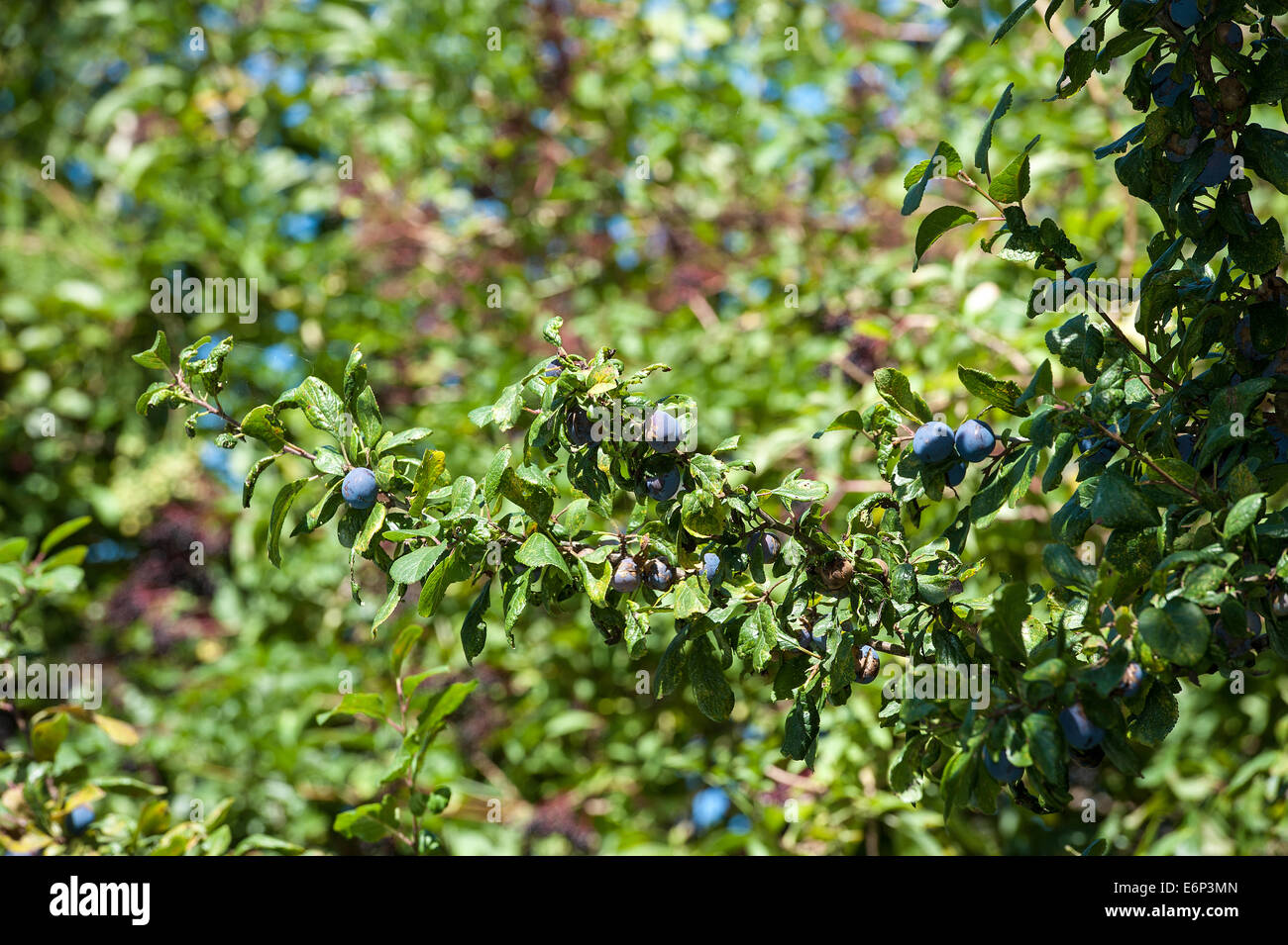 Damson and Elder berries on a tree - Stock Image
