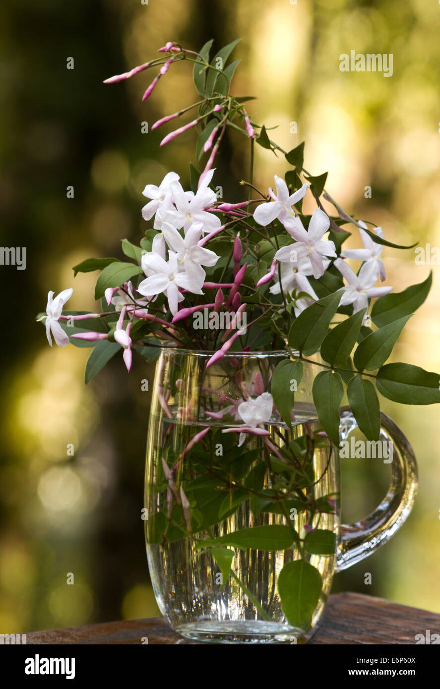 Pink jasmine jasminum polyanthum flowers and buds in a glass mug pink jasmine jasminum polyanthum flowers and buds in a glass mug on a natural background izmirmasajfo
