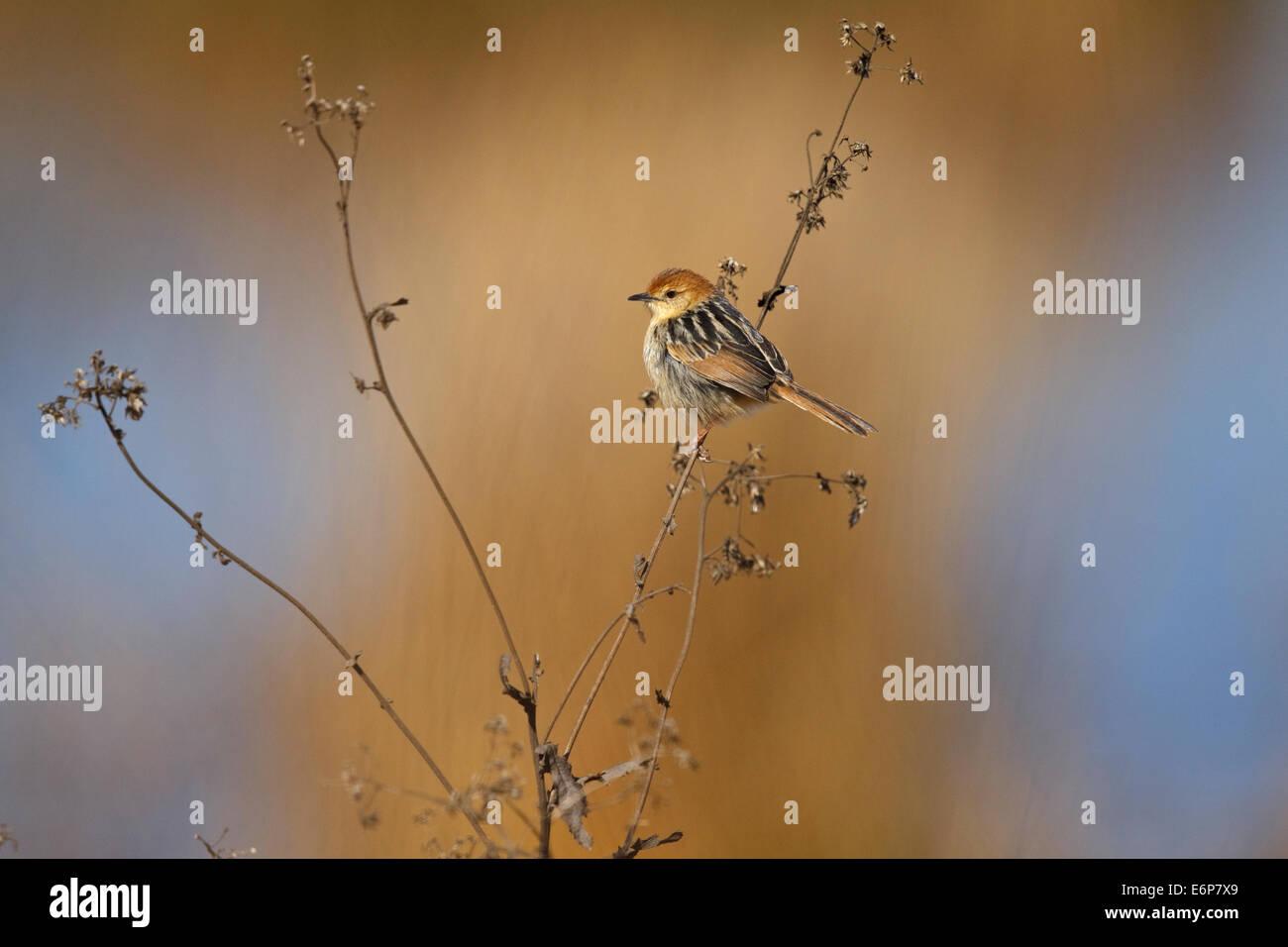 Levaillant's Cisticola (Cisticola tinniens), - Stock Image