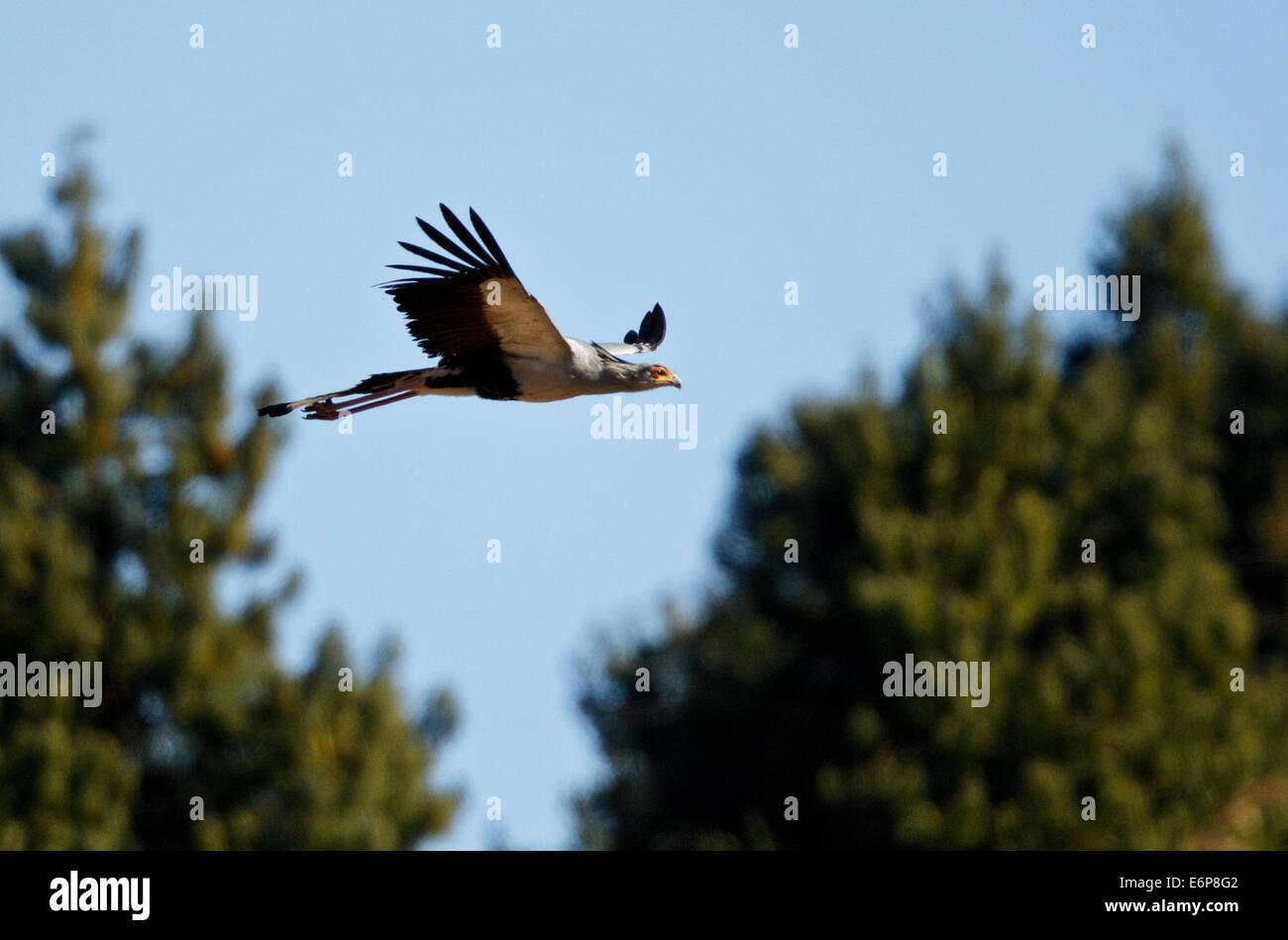 Secretarybird Sagittarius serpentarius, flying, Sagittariidae Stock Photo