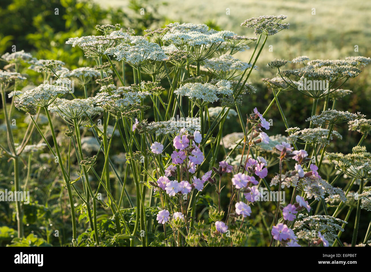 A roadside hedgerow and wildflowers in early morning light near Harlestone in Northamptonshire, England. Stock Photo