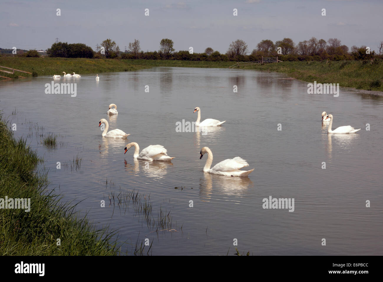 mute swans on River Adur, Bramber & Upper Beeding, West Sussex Stock Photo