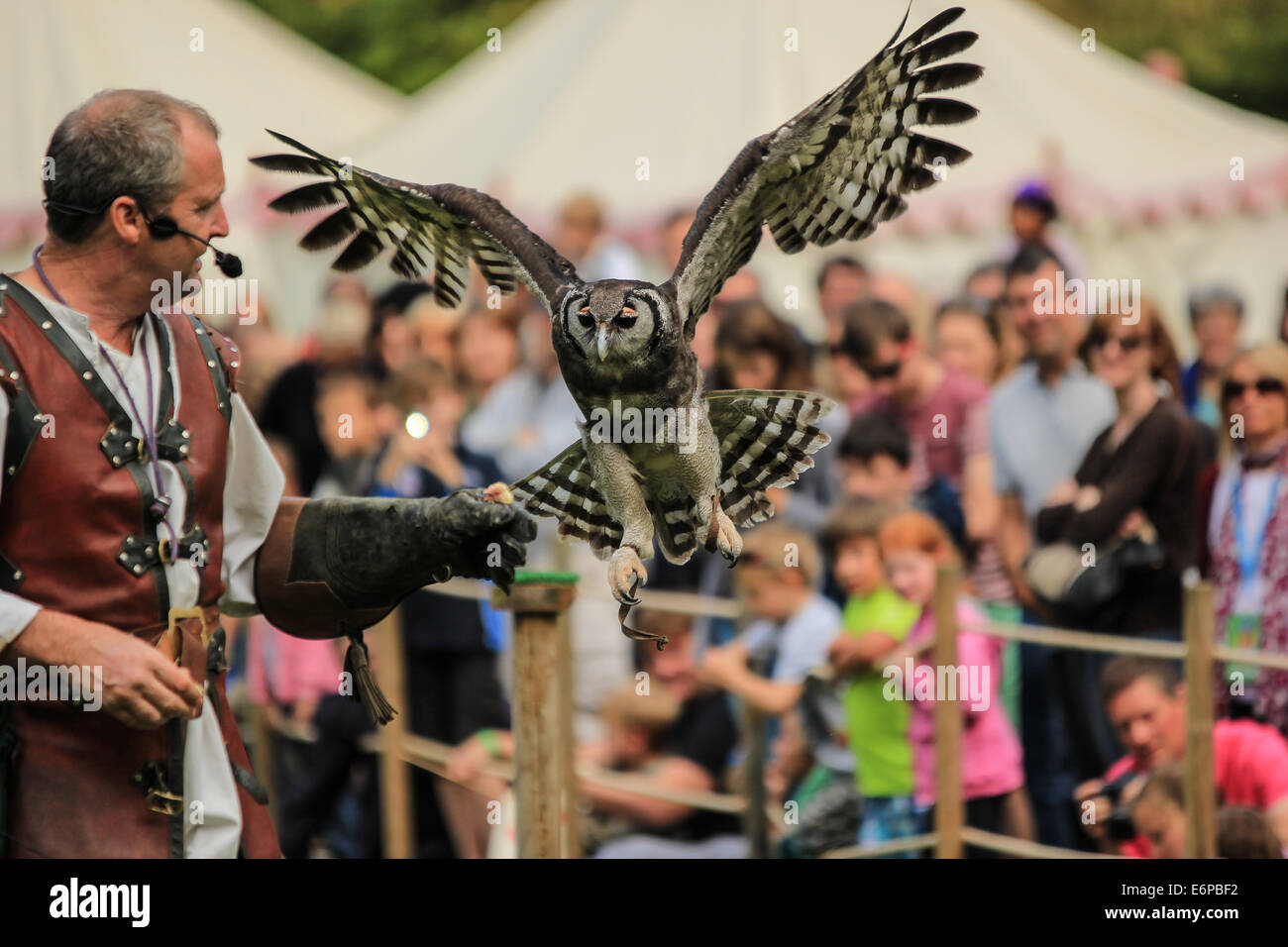 Owl flying towards keeper to receive a treat for a days hard work at the Warwick Castle Falconry Show - Stock Image