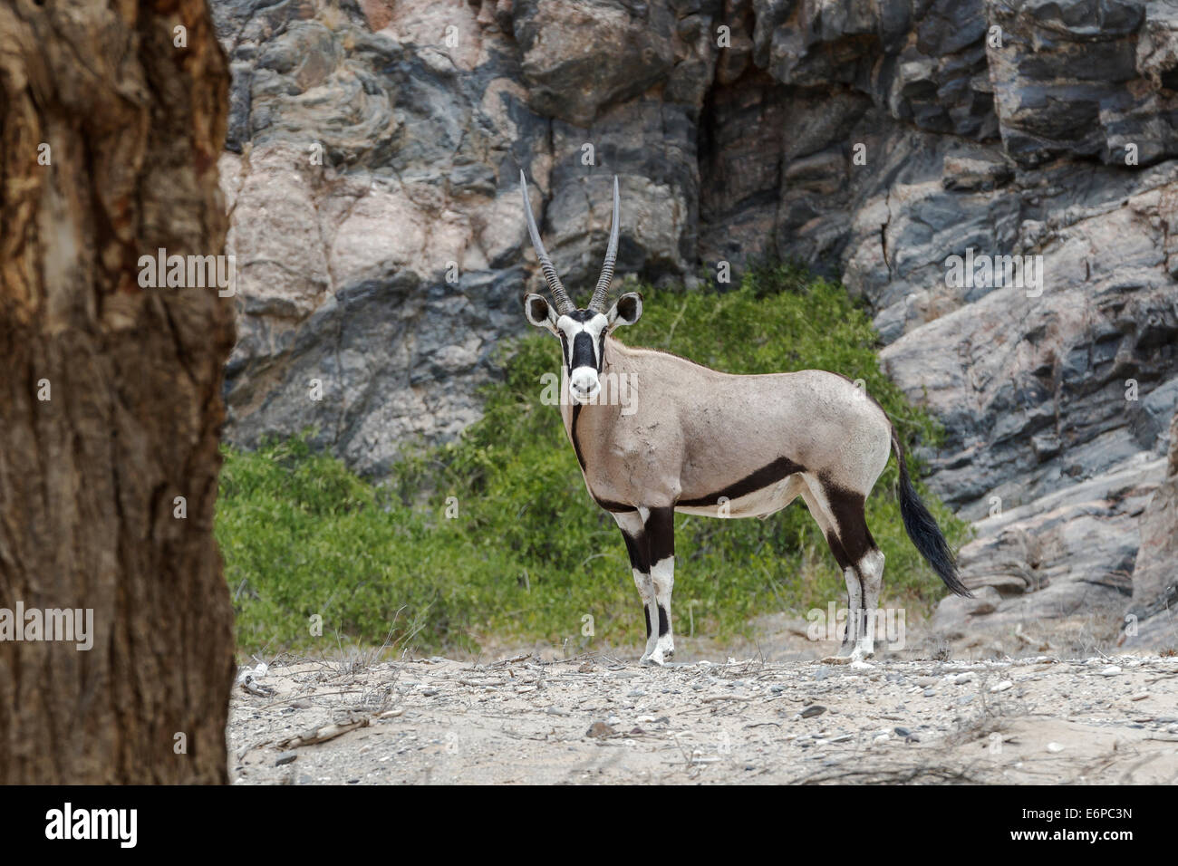 Oryx (Artiodactyla) adult standing, full body length, side view, face to camera, big antlers, Hoanib riverbed, Namibia, - Stock Image