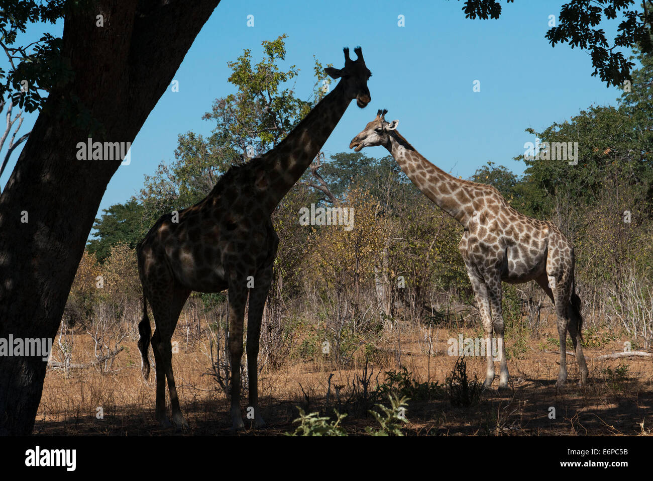 From Victoria Falls is possible to visit the nearby Botswana. Specifically Chobe National Park.  A pair of giraffes - Stock Image