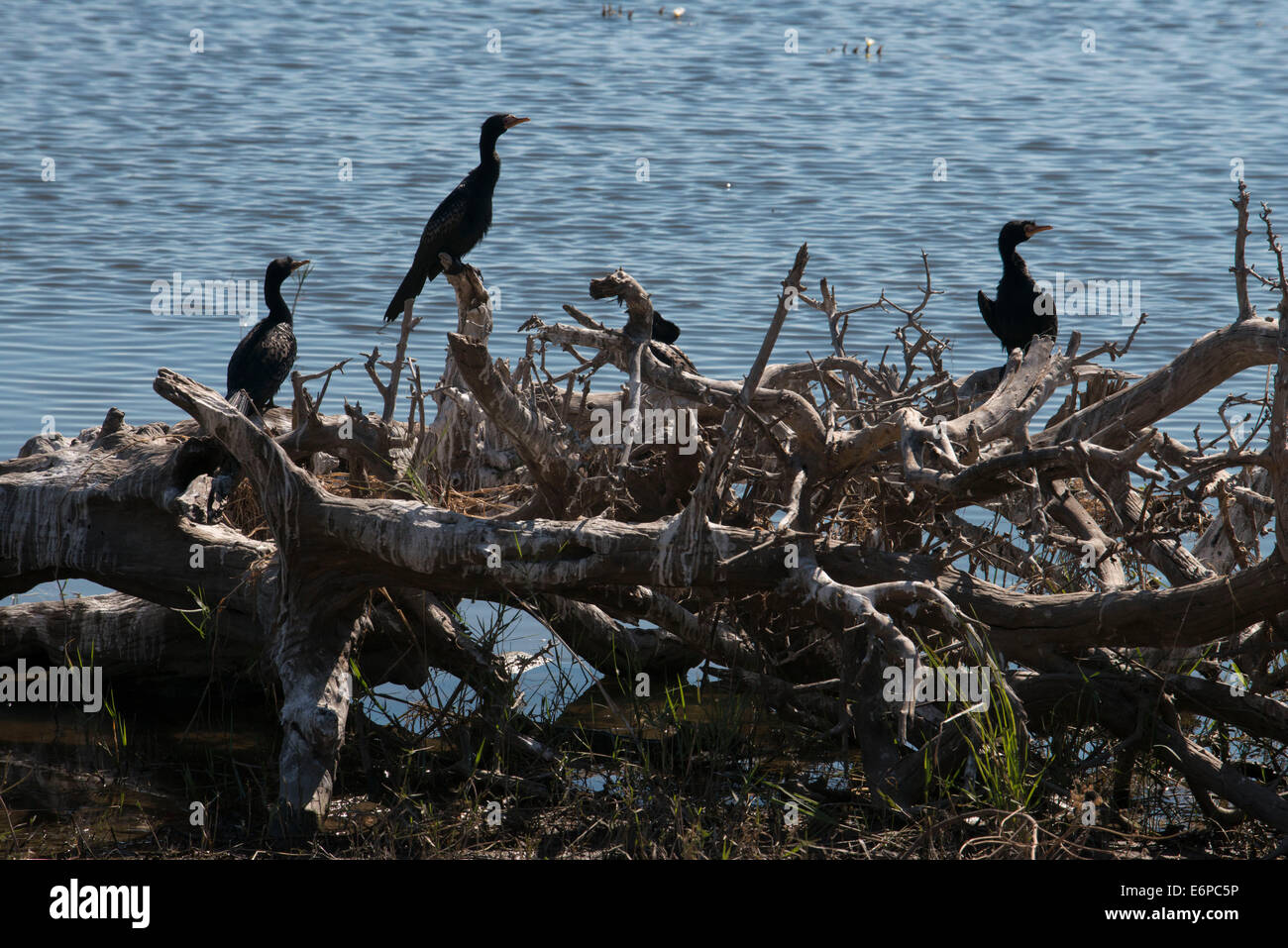 Birds in Zambia. From Victoria Falls is possible to visit the nearby Botswana. Specifically Chobe National Park. - Stock Image