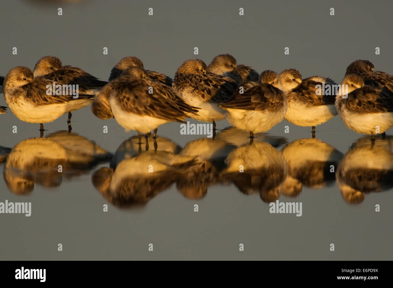 Roosting semi-palmated sandpipers during fall migration - Stock Image