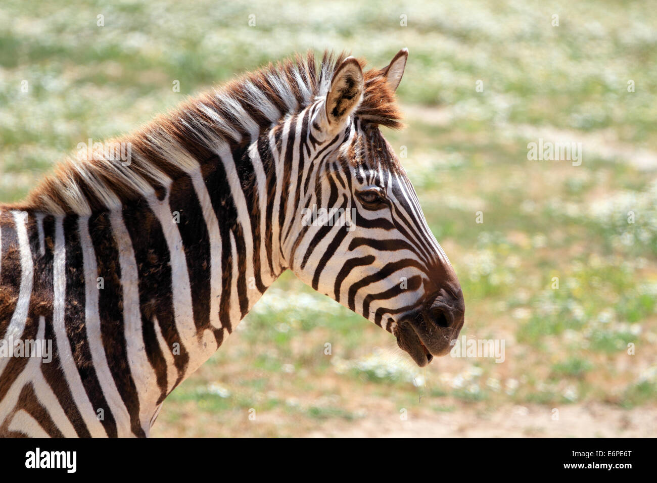 A Grants zebra, Equus quagga boehmi, Cape May County Zoo