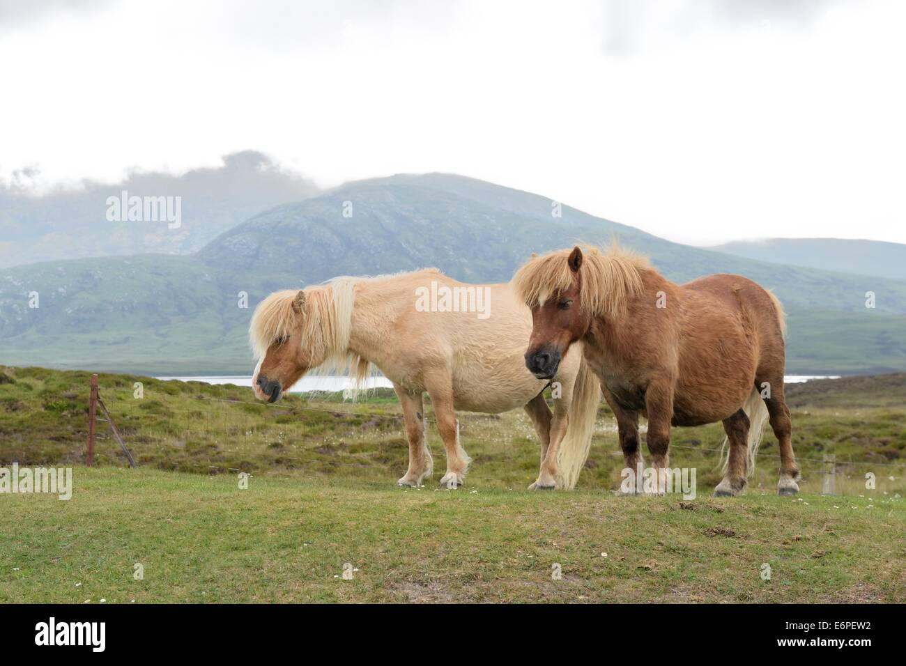 Two rare wild Eriskay ponies wander the Scottish countryside on a misty, overcast day on South Uist, Scotland - Stock Image