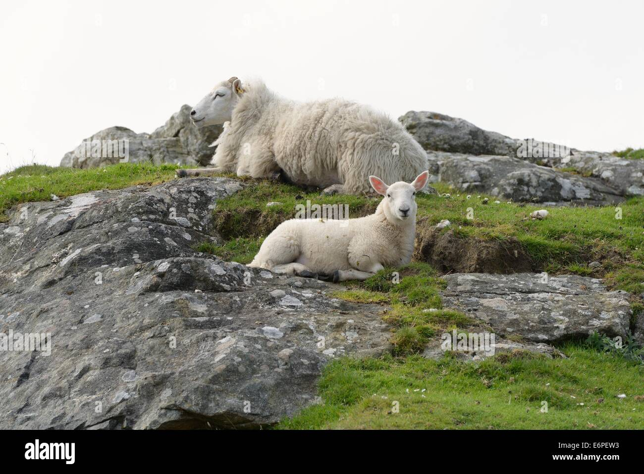 A ewe and her lamb resting on rocks in the Scottish, Outer Hebrides - Stock Image