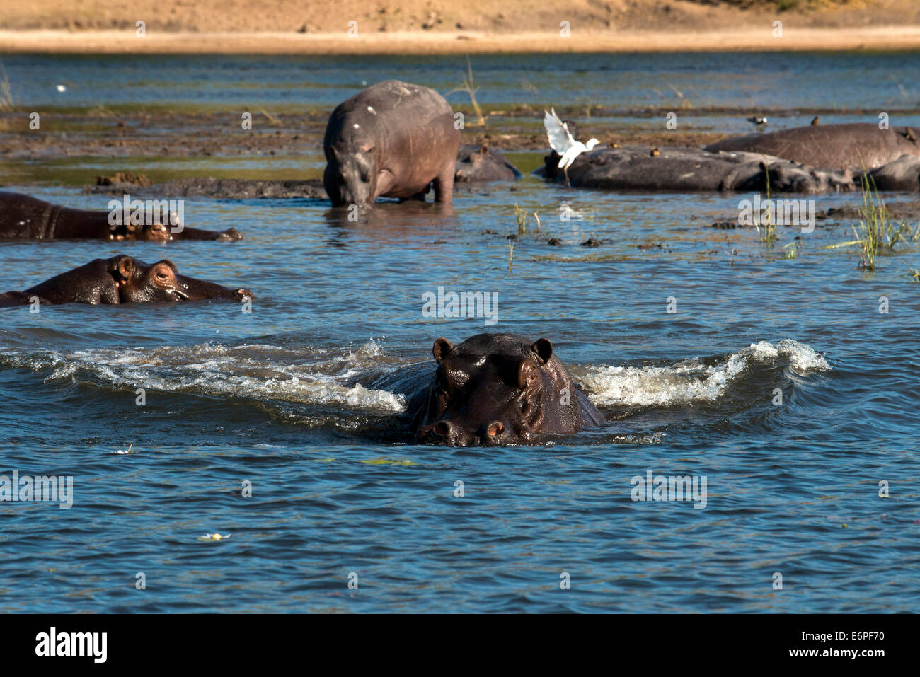 From Victoria Falls is possible to visit the nearby Botswana. Specifically Chobe National Park. Hippos for example - Stock Image