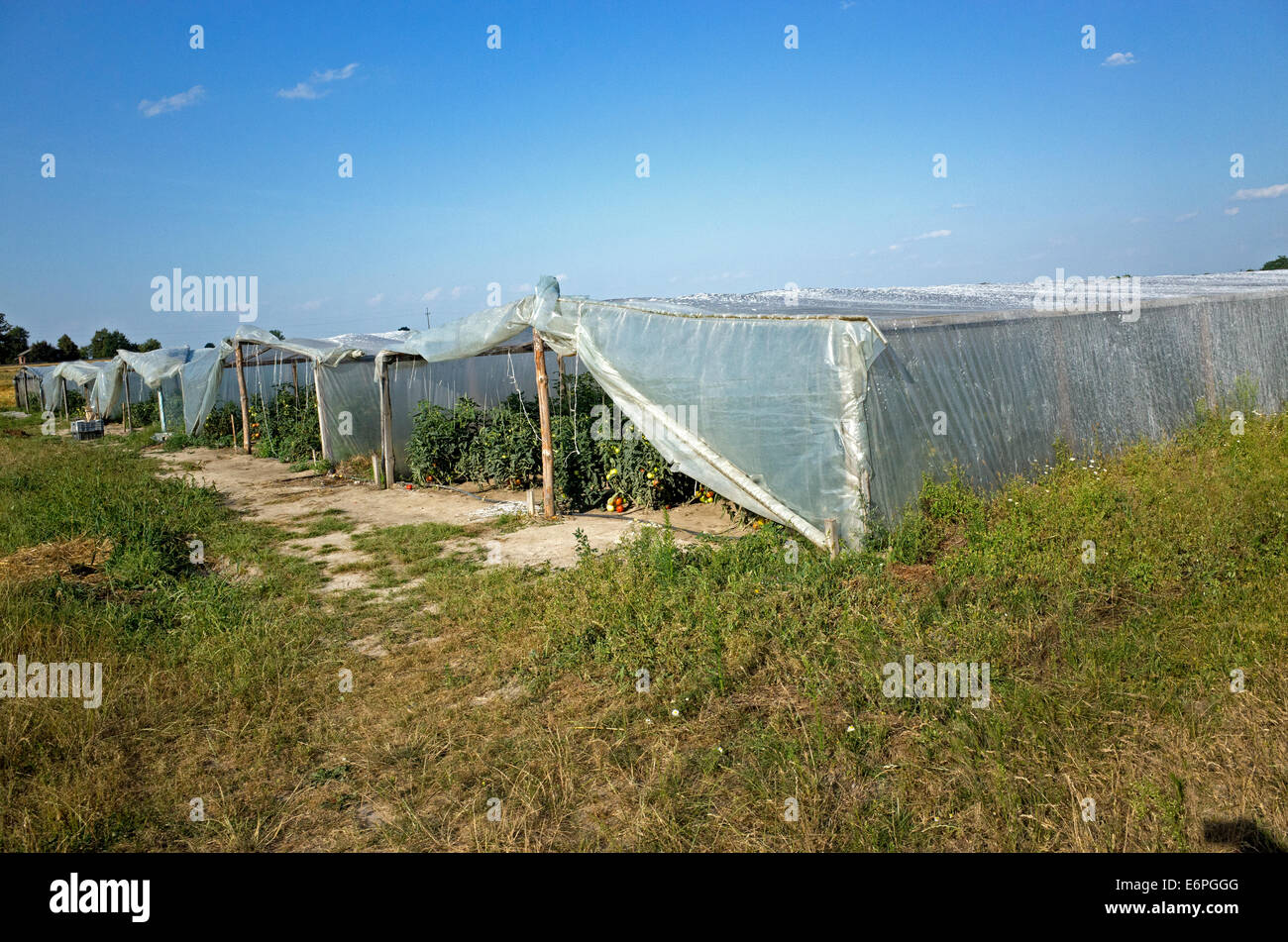 Traditional farm converted to modern agriculture with mass tomato production under long plastic tents. Zawady Poland - Stock Image