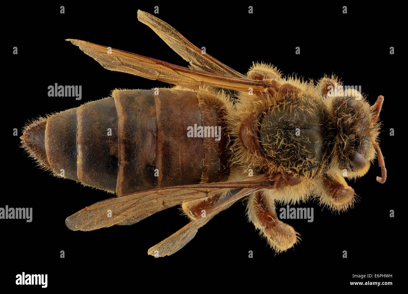 Apis mellifera, Queen, back, MD, Talbot County_2013-09-30-173504 ZS PMax_10030701423_o Queen Bee photo spread. Collected - Stock Image