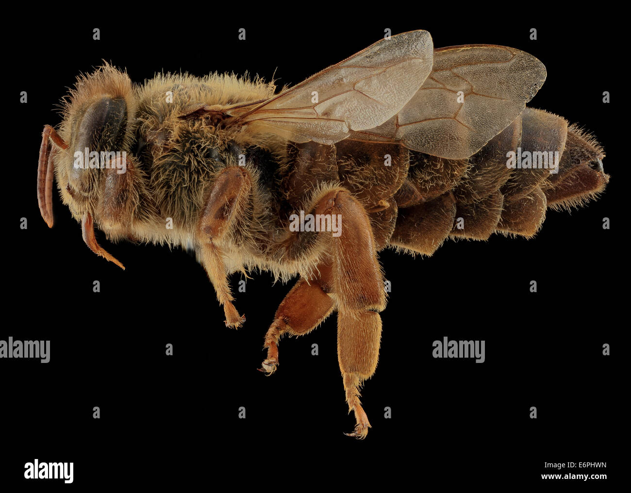 Apis mellifera, Queen, side, MD, Talbot County_2013-09-30-174551 ZS PMax_10030628256_o Queen Bee photo spread. Collected - Stock Image