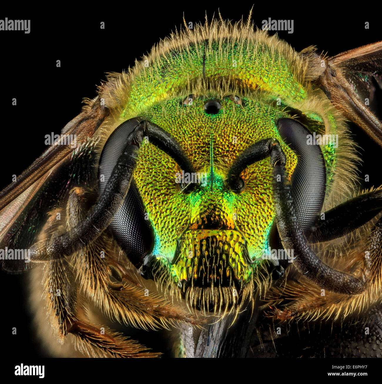 Augochlorella aurata, F, Face, MD, Boonsboro_2013-07-01-150126 ZS PMax_9195495923_o One of the most common bees - Stock Image