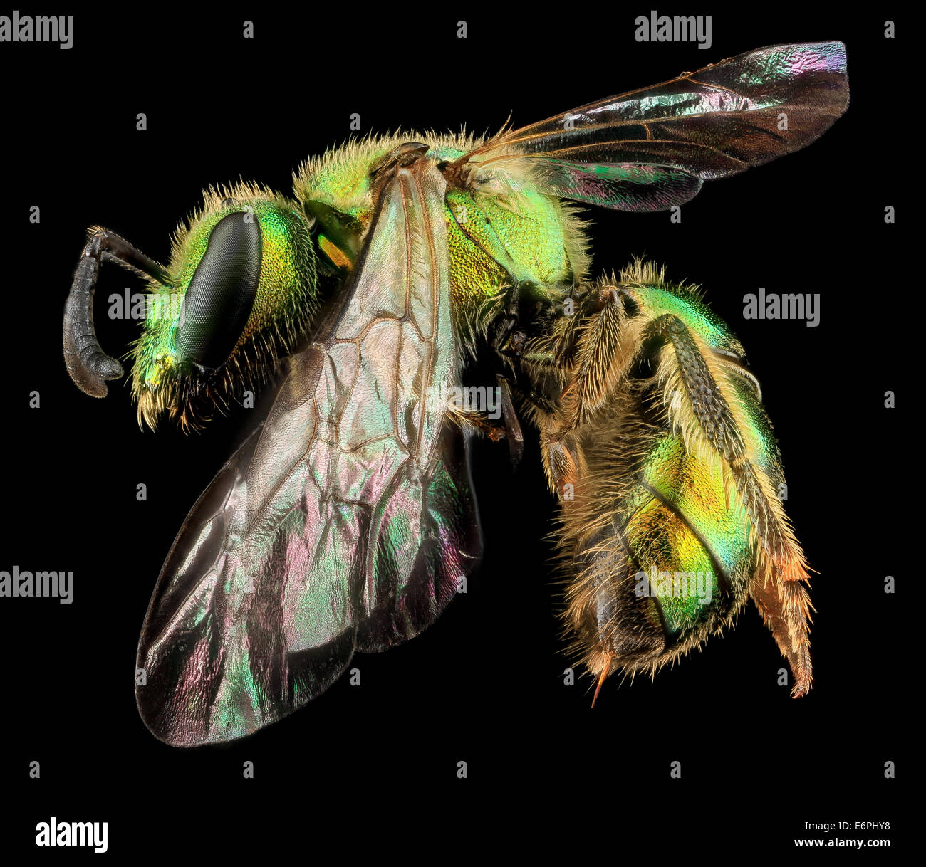 Augochlorella aurata, F, Side, MD, Boonsboro_2013-07-01-151241 ZS PMax_9198281922_o One of the most common bees - Stock Image