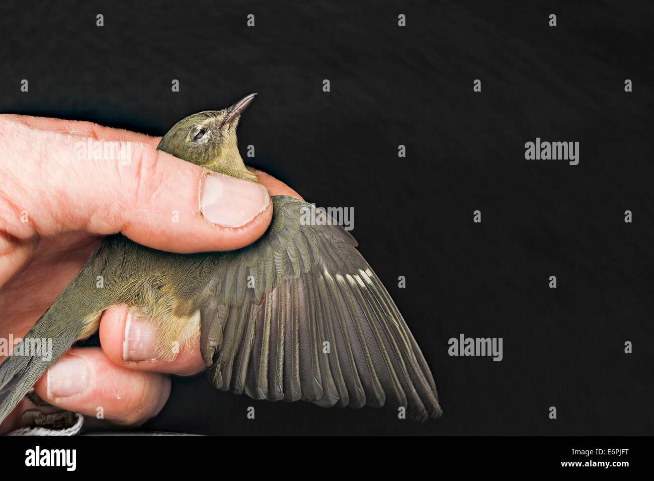 Black throated blue warbler, F, hand shot, 1818 H St_8654701641_o Black-throated blue warbler, female, collided - Stock Image
