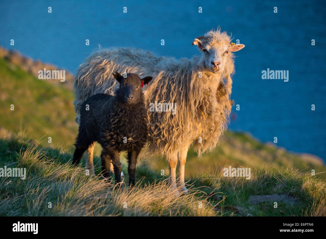 Ewe and lamb, Mykines, Faroe Islands, Denmark - Stock Image