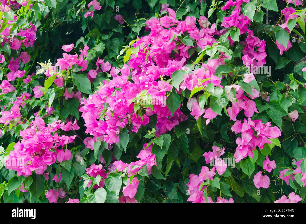 Lesser bougainvillea or paper flower bougainvillea glabra flowers lesser bougainvillea or paper flower bougainvillea glabra flowers ko samui thailand mightylinksfo