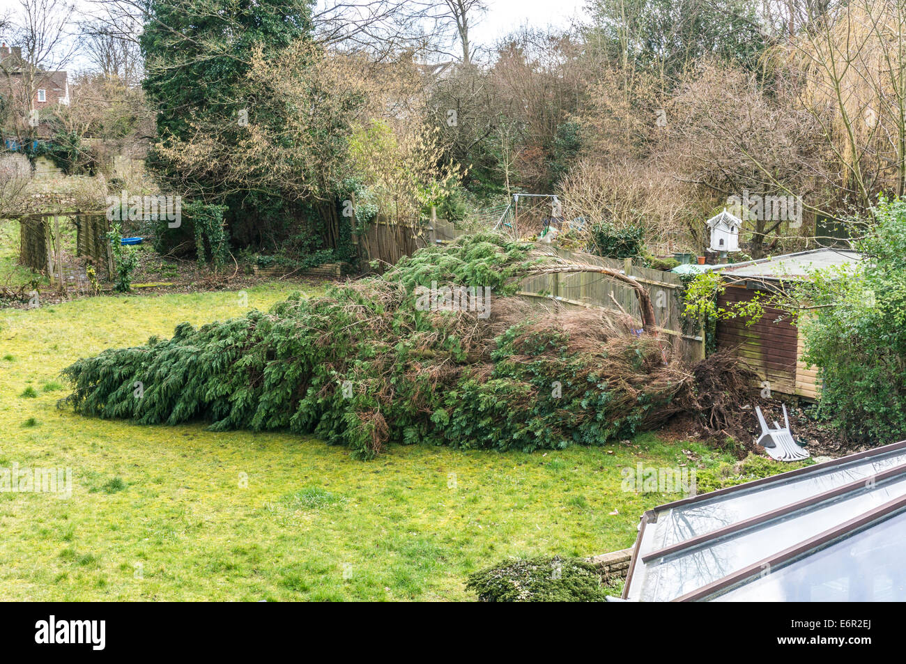 An uprooted conifer lies across a suburban back garden, having been blown down in a storm. Epsom, Surrey, England, - Stock Image