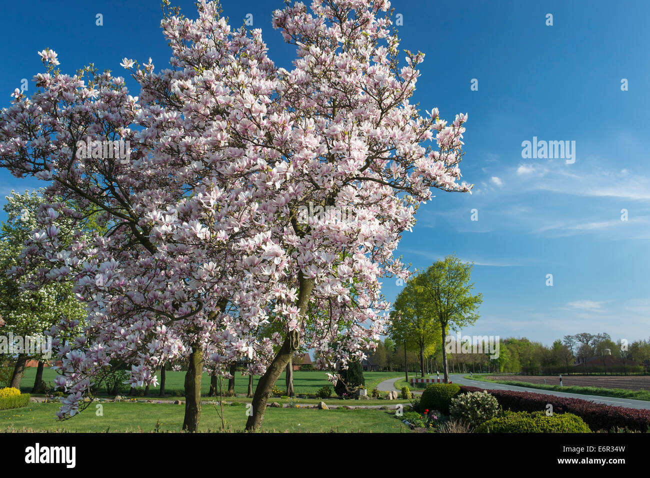 Blooming Magnolias Trees Stock Photos Blooming Magnolias Trees