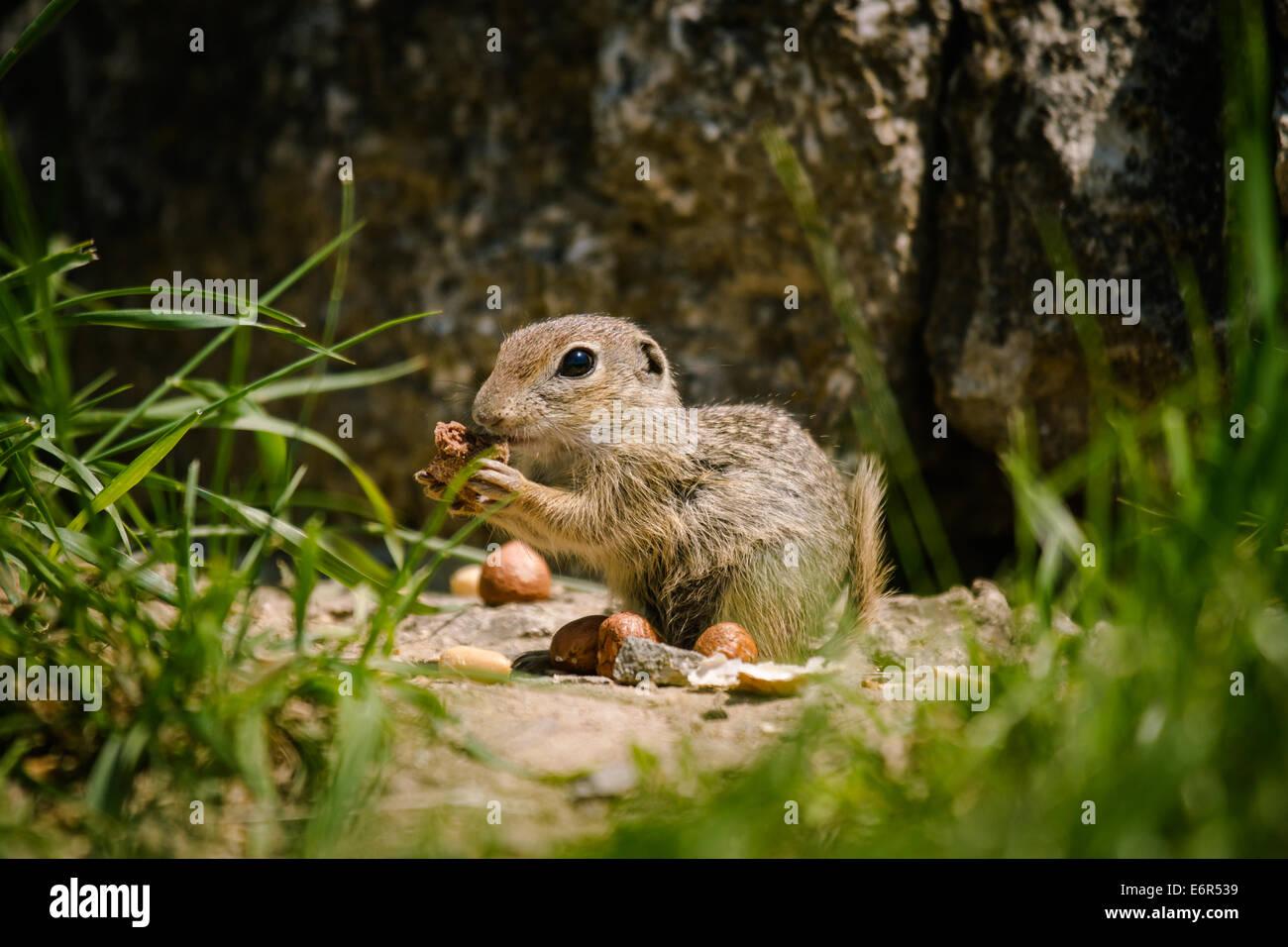 European ground squirell (Spermophilus citellus) Stock Photo